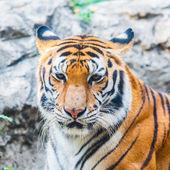 bengáli tigris.