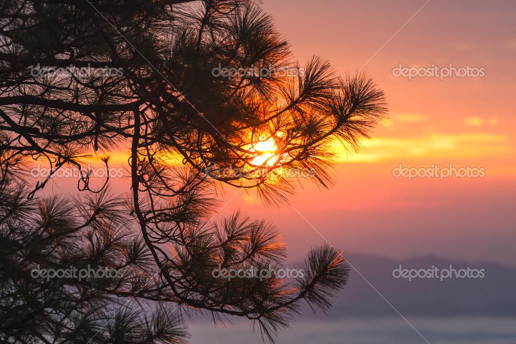 Sunset through pine branches