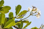 Fotografie Branch of tropical flowers frangipani (plumeria)