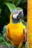 modrá a žlutá macaw pták