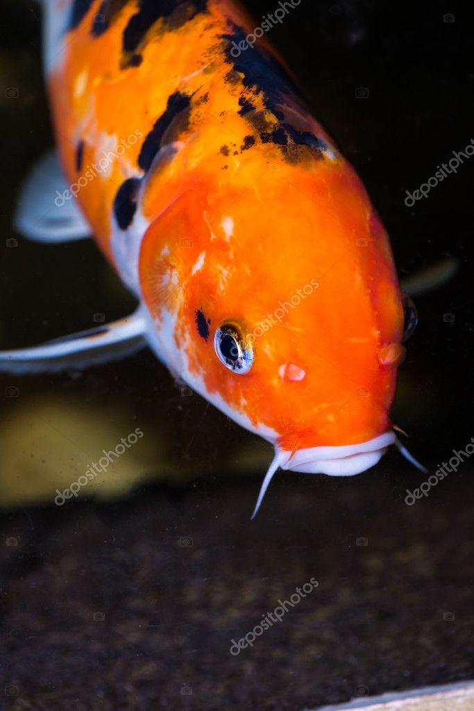 Pesce carpa koi estreme da vicino foto stock calvste for Prezzo carpa koi