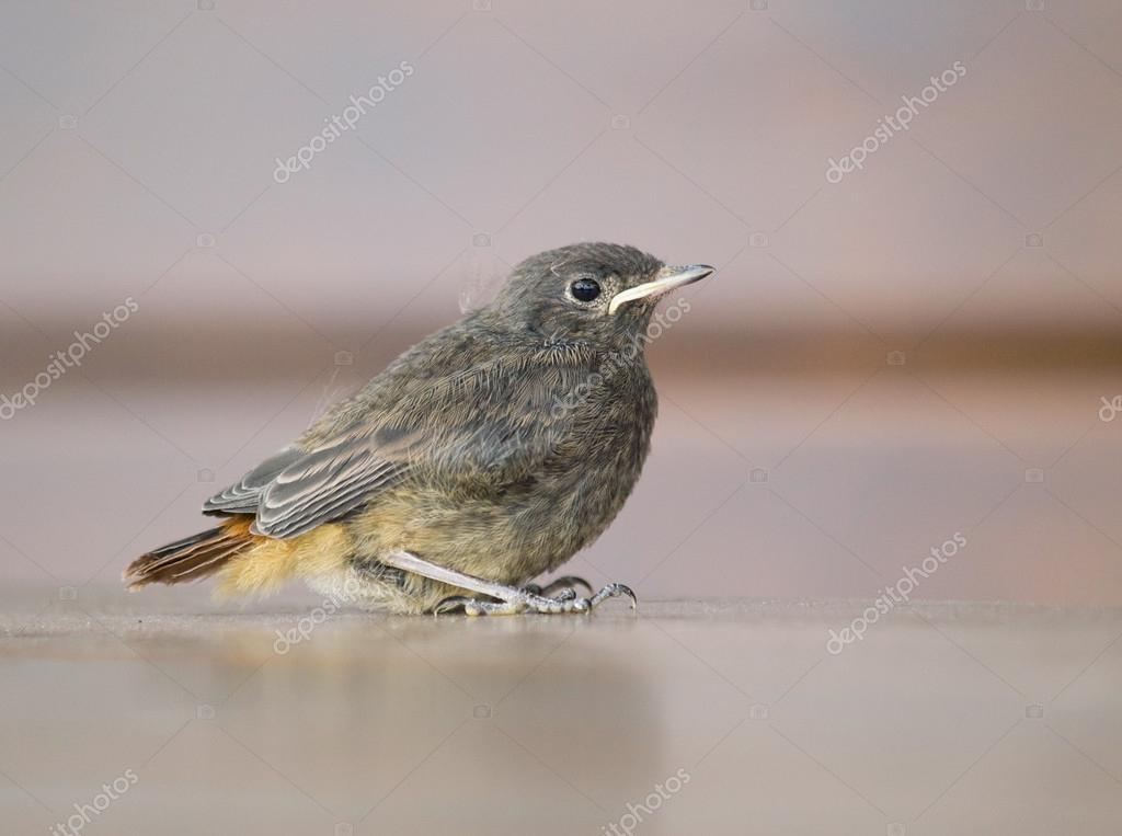 Nestling of blackbird