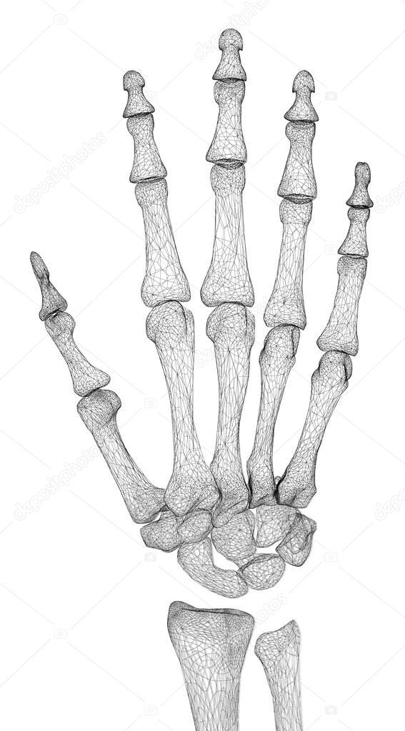 medizinische Abbildung zeigt die Anatomie des Menschen hippe im ...