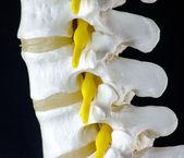 modello di vertebra