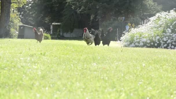 polli in fattoria