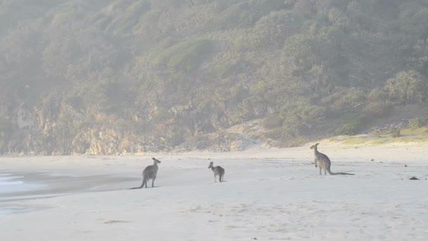 Kangaroos On Beach
