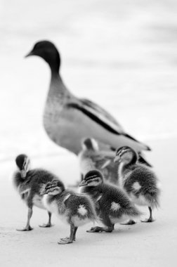 Ducklings in black and white