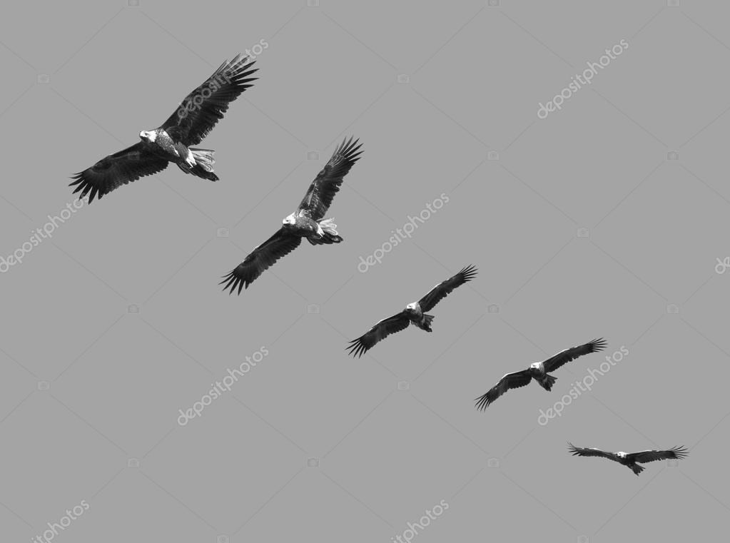 Wedge Tailed Eagle Montage in black and white
