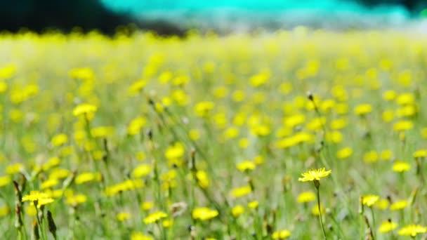 Yellow Wild Flowers Meadow