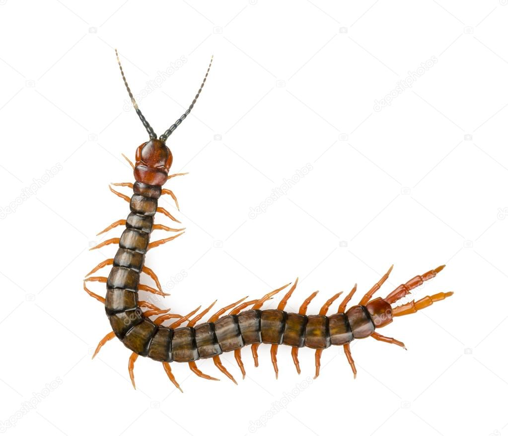 Centipede Isolated — Stock Photo © THPStock #47808289