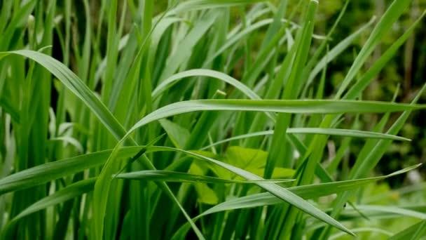 divoká tráva