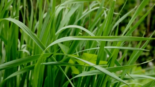 vad fű