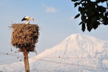 Storks near Ararat in Armenia