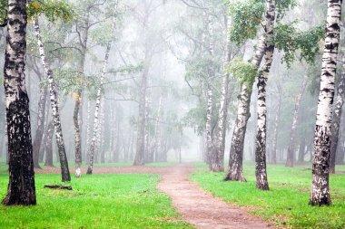 Autumn deep fog in the morning birch grove