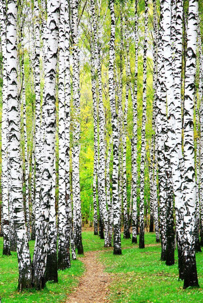 First days of autumn in birch grove