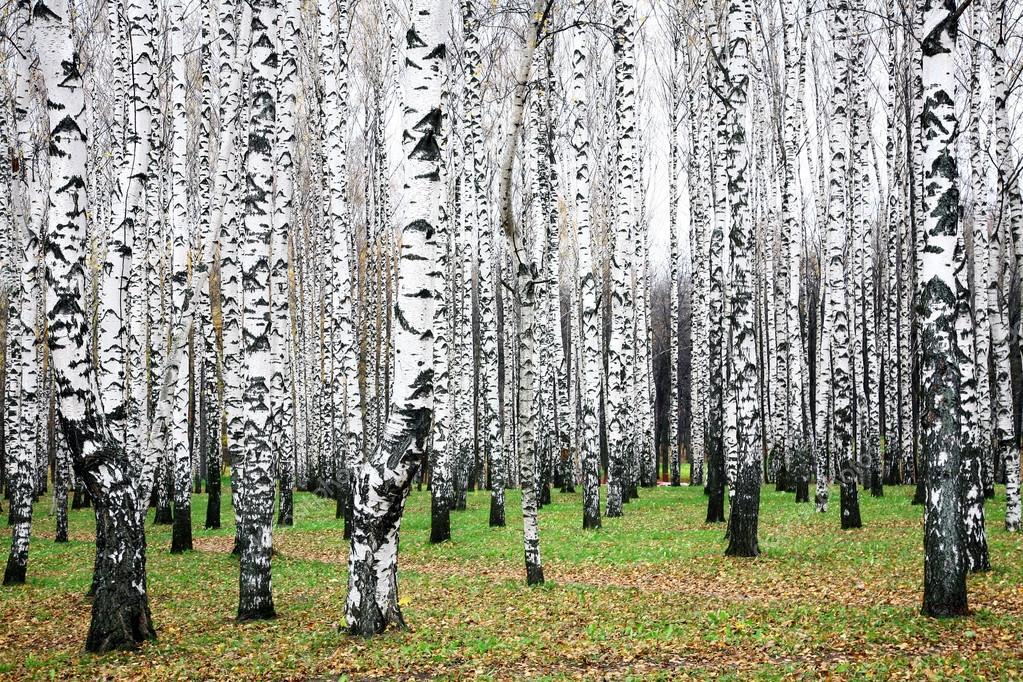 Beautiful autumn birch grove in october
