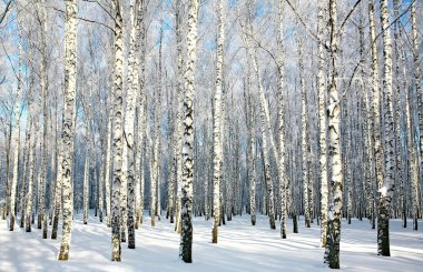 Birch forest with covered snow branches in sunlight