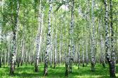 jarní březový les