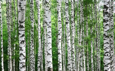 Trunks of birch trees in summer