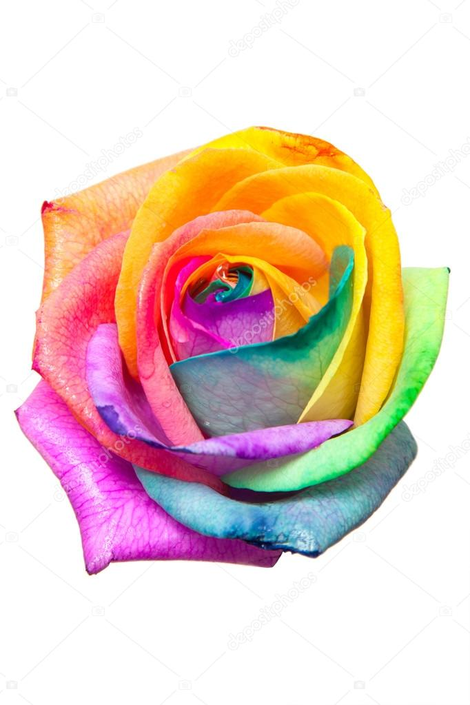 Bud rainbow roses on white background stock photo for Where can i buy rainbow roses