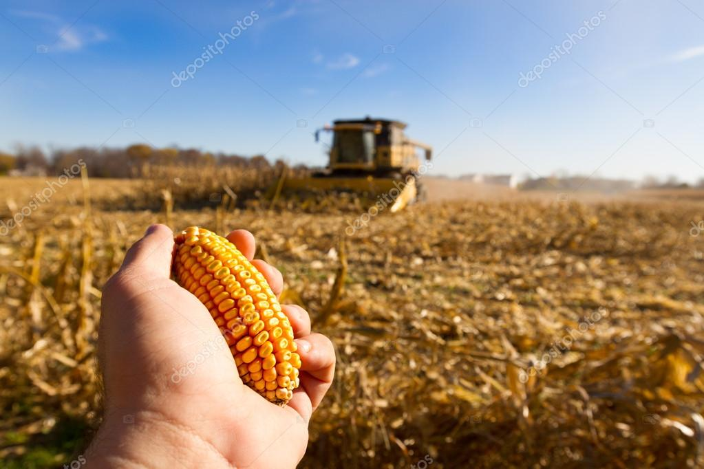 Looking for Corn