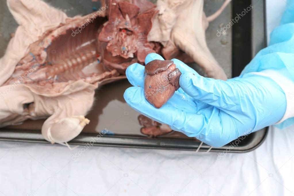 manos con guantes de sostener el hogar de un feto de cerdo — Foto de ...