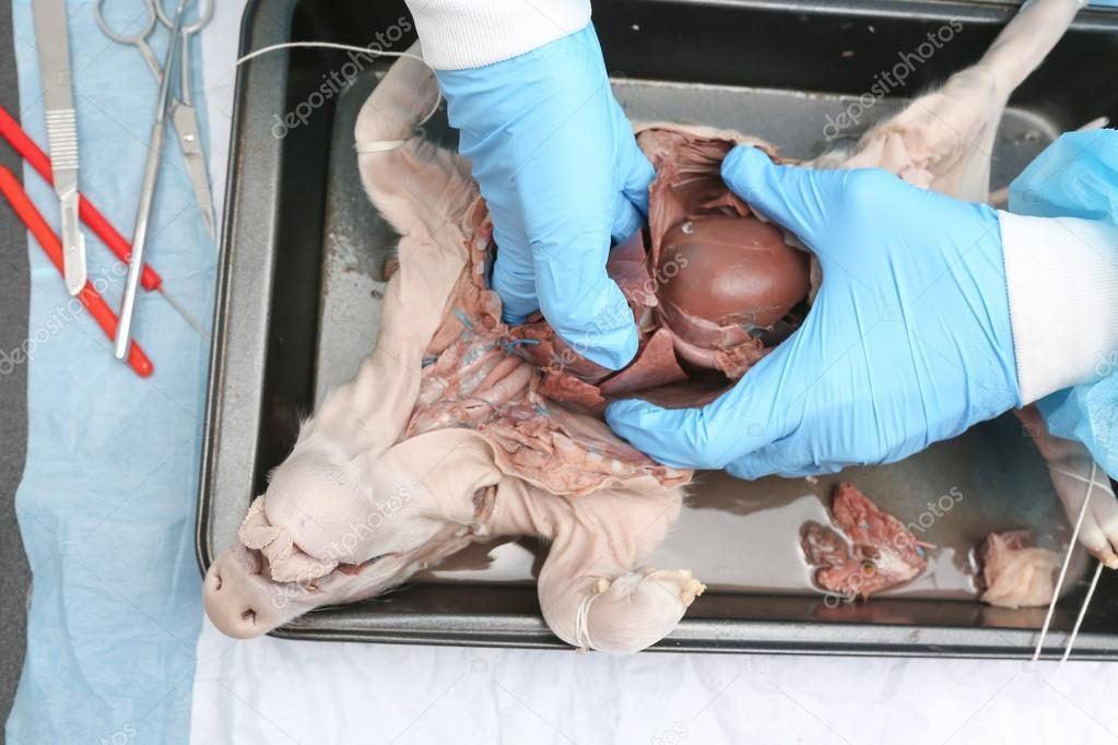 Anatomie-Forscher, die inneren Organe des fetalen Schwein entfernen ...