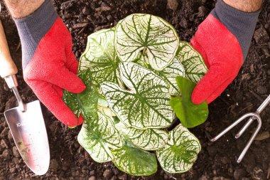 Gardener planting Shades of Innocence Caladium