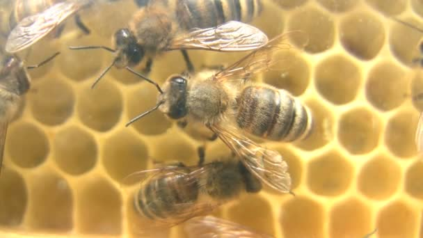 Honeybees in their hive