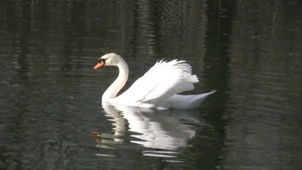vzpínajícího se labuť