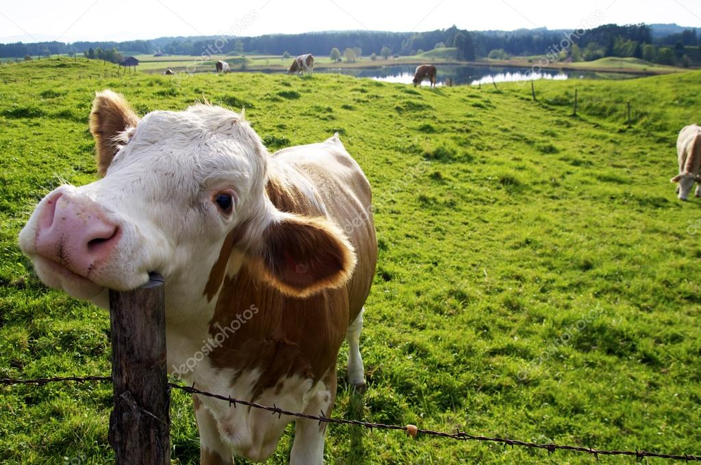 Image result for happy cow