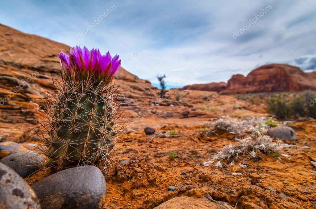 Beautiful Wild Cactus near Corona Arch Trail