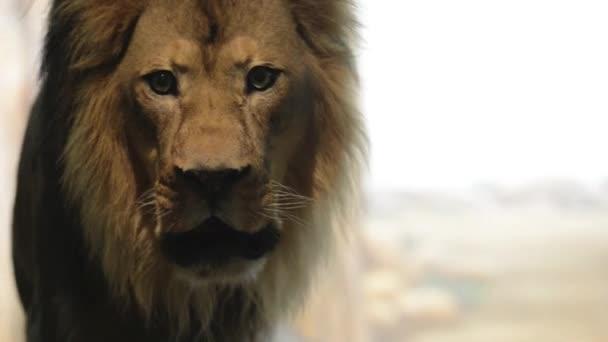 řvoucí lev