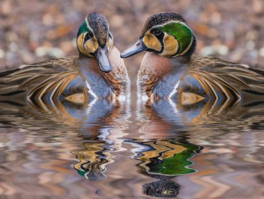 Two beautiful Baikal Teal Ducks reflection in the water