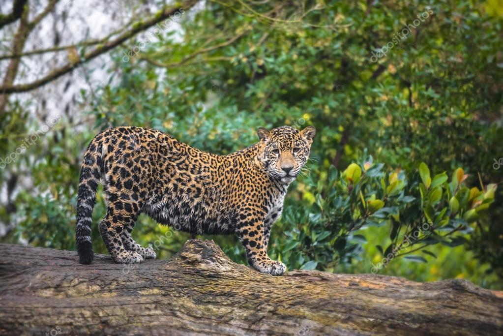 Young Beautiful Jaguar