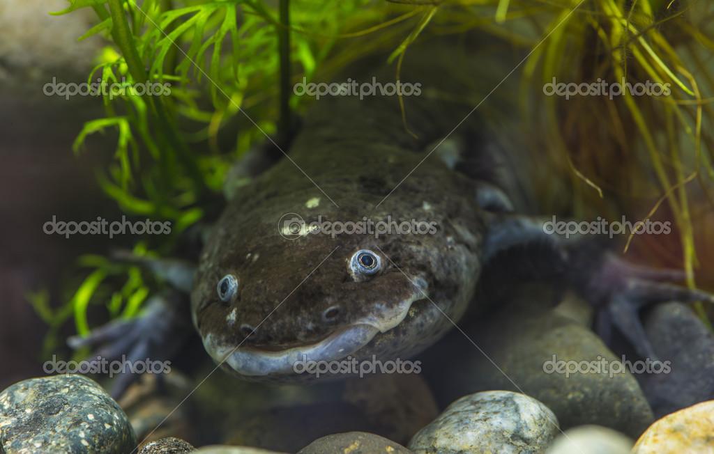 The axolotl salamander