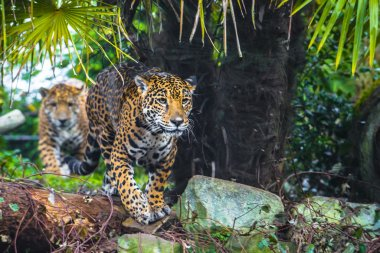 Beautiful Young Jaguar
