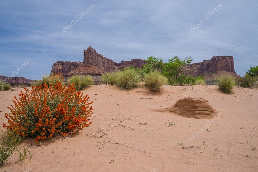 Desert flowers and Ant hills near White Rim Road Moab Utah