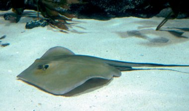 Mantas swimming underwater