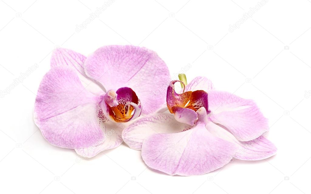 Two orchid flower.