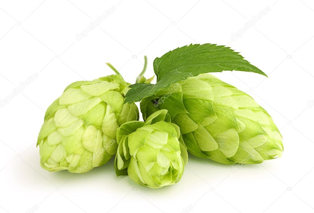 Fresh green hops leaf .