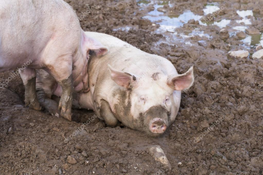 Two pigs sleeping in mud