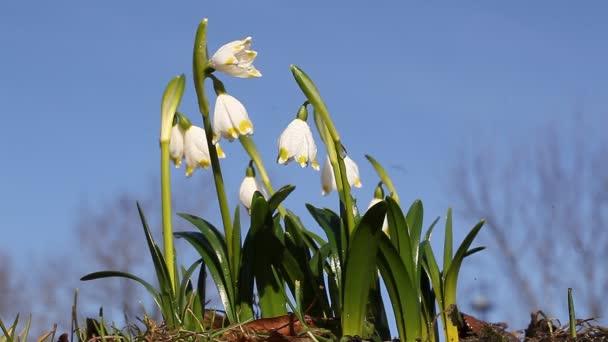 Hóvirág csoport az erdő háttér