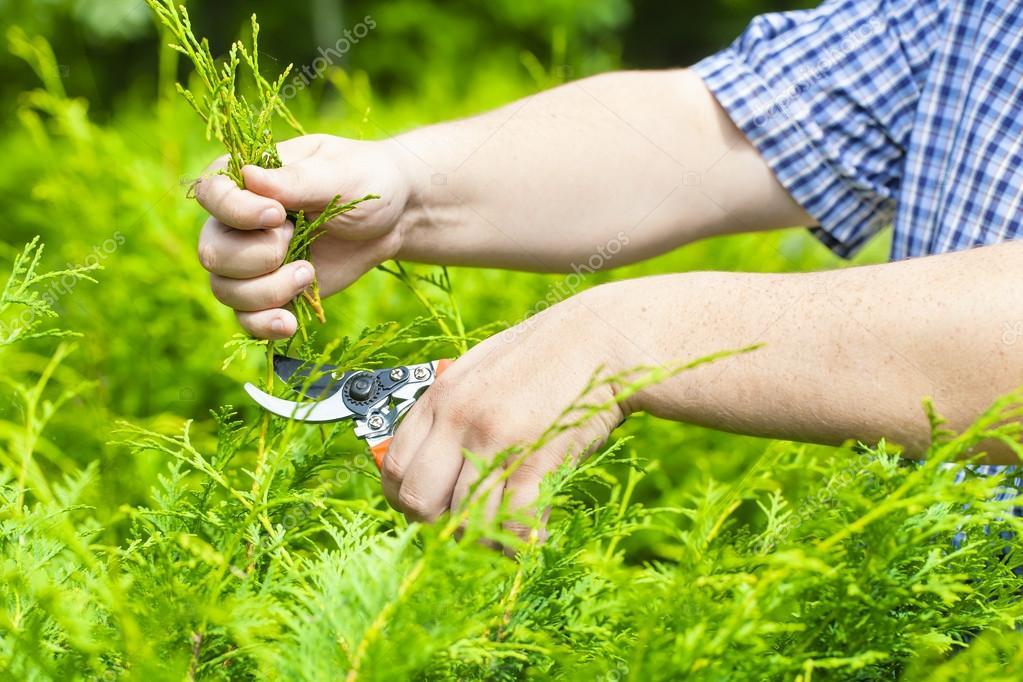 Hand with gardener shears near thuja in summer