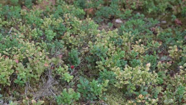 brusinky rostliny v lese v srpnu Epizoda 3