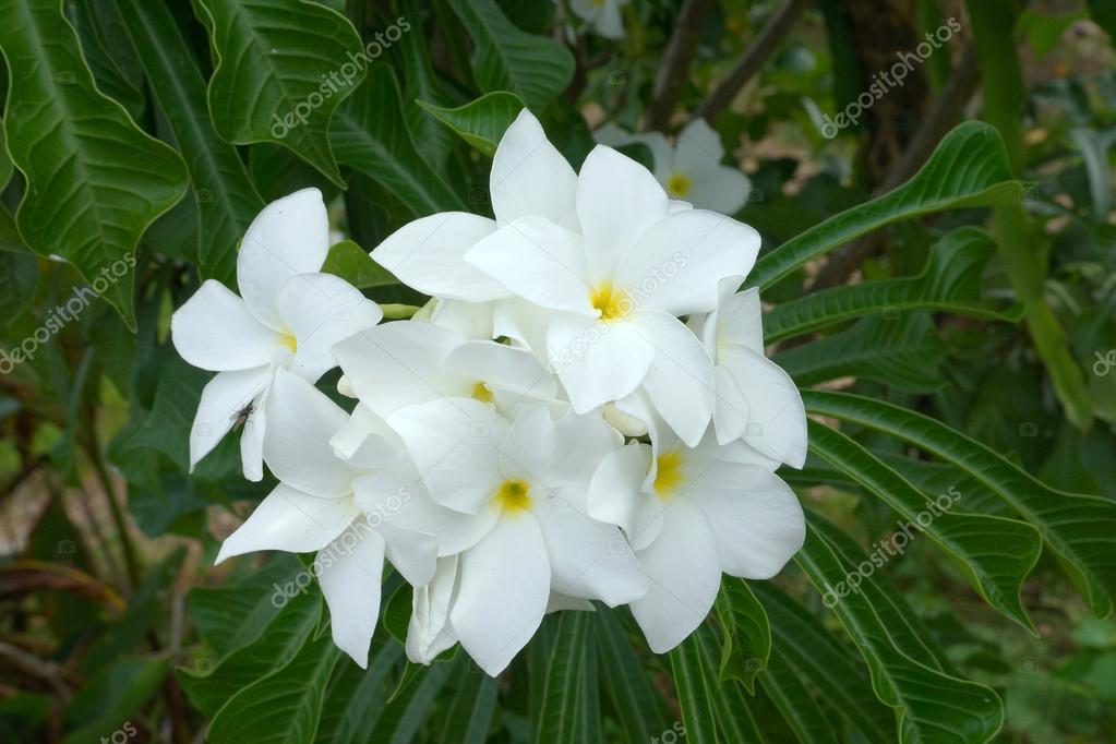 Branch of tropical white flowers frangipani (plumeria) on dark g ...