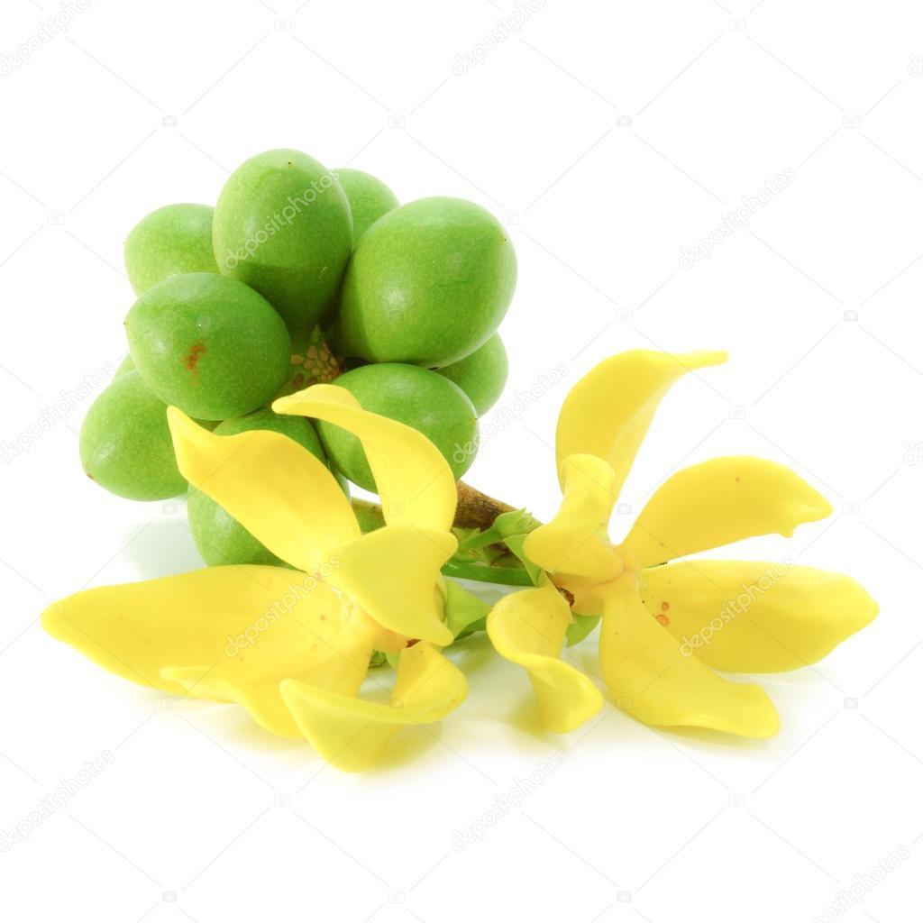 Yellow Flower Of Bhandari On White Background Scientific Name
