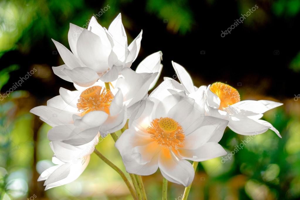 Blooming white lotus flower in the morning