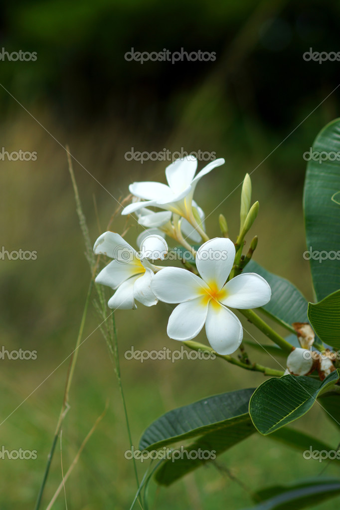 Blossom frangipani flowers for use in the spa.