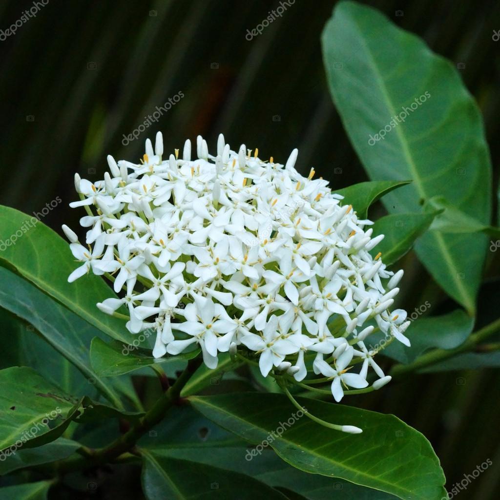 Very fragrant white flowers name siamese white ixora stock photo very fragrant white flowers name siamese white ixora stock photo mightylinksfo